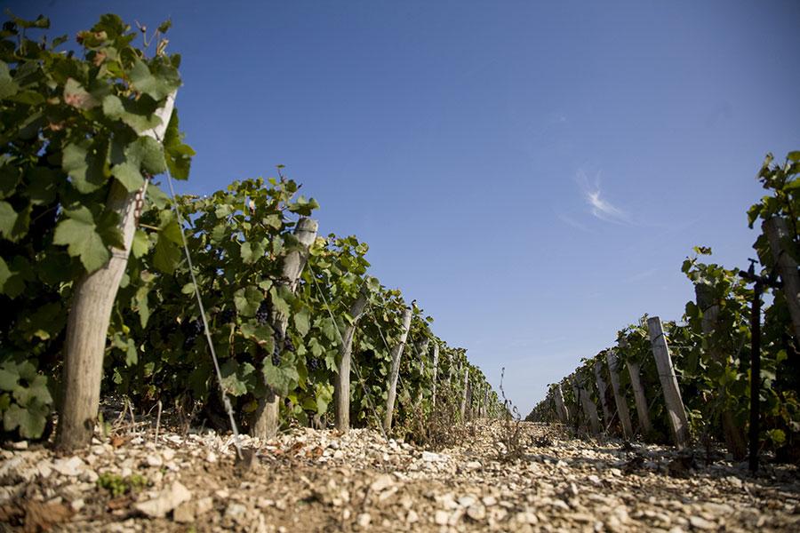 Chassenay-d'Arce-pieds-de-vigne-raisins-noirs-76
