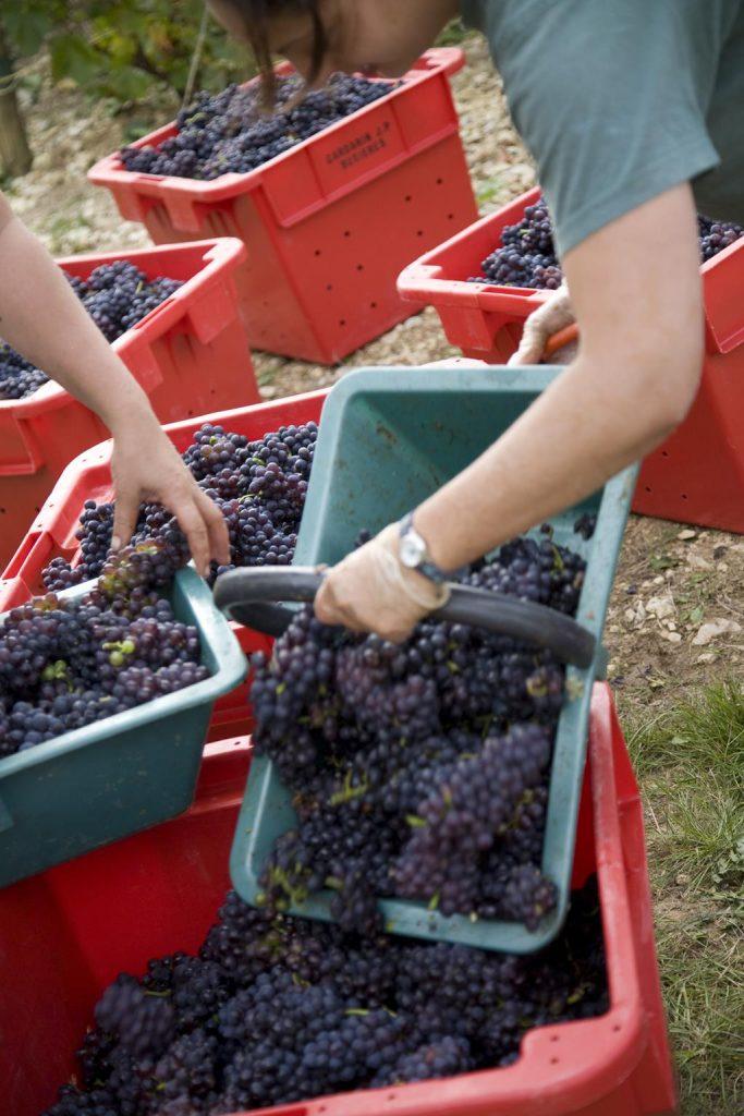Chassenay d'Arce vendanges raisins noirs 65